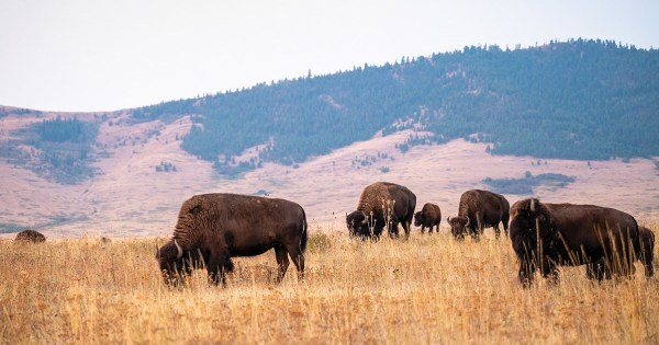 Bison graze in a field at the National Bison Range in September of last year. There are between 350 and 500 bison on the range, which spans nearly 19,000 acres in western Montana. (Photo © Pete Caster, used with permission)